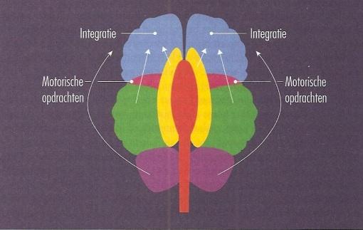 Bovenaanzicht van de hersenen