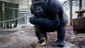 Gorilla Jacko kiest portefeuille