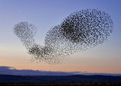 Organisatie - complexity zwerm spreeuwen