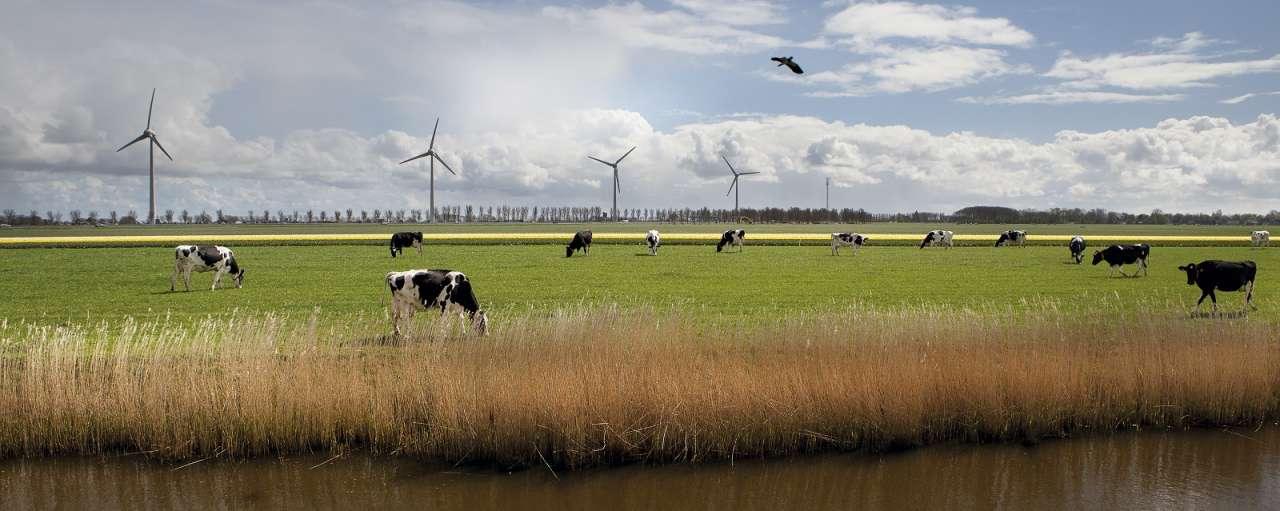 koeien-in-weiland